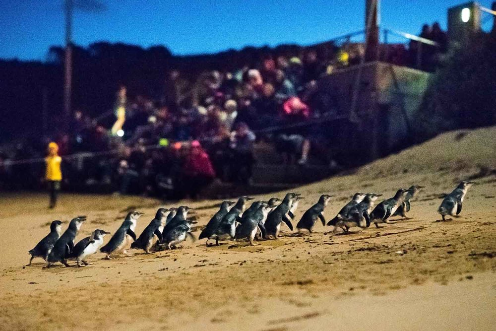Phillip Island Penguins Best Time Of Year