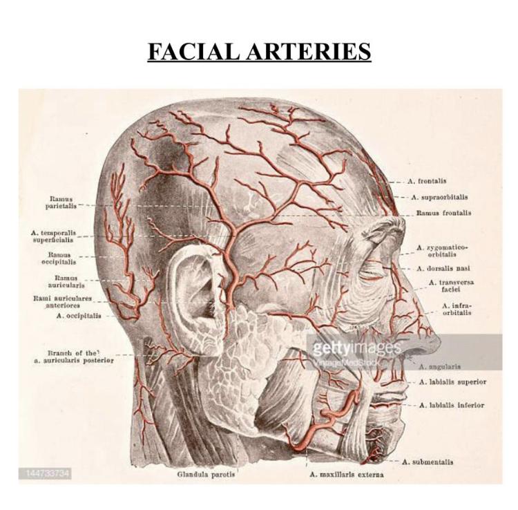 facial veins.jpg
