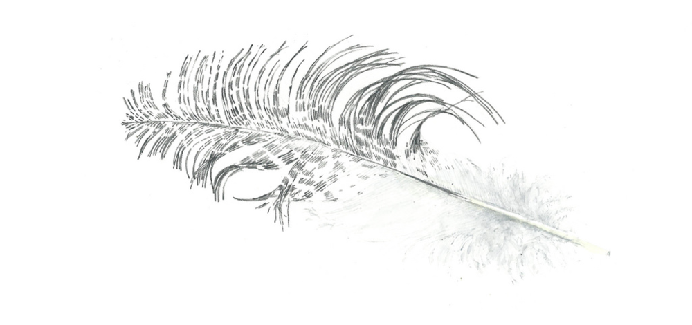 ibisfeather