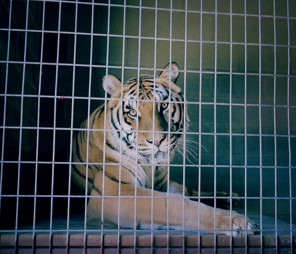 JL_tiger10.jpg