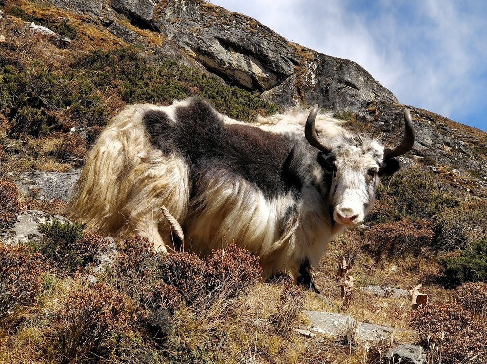 Himalayan Yaks don't worry about risk logs or change requests. Be more Yak.