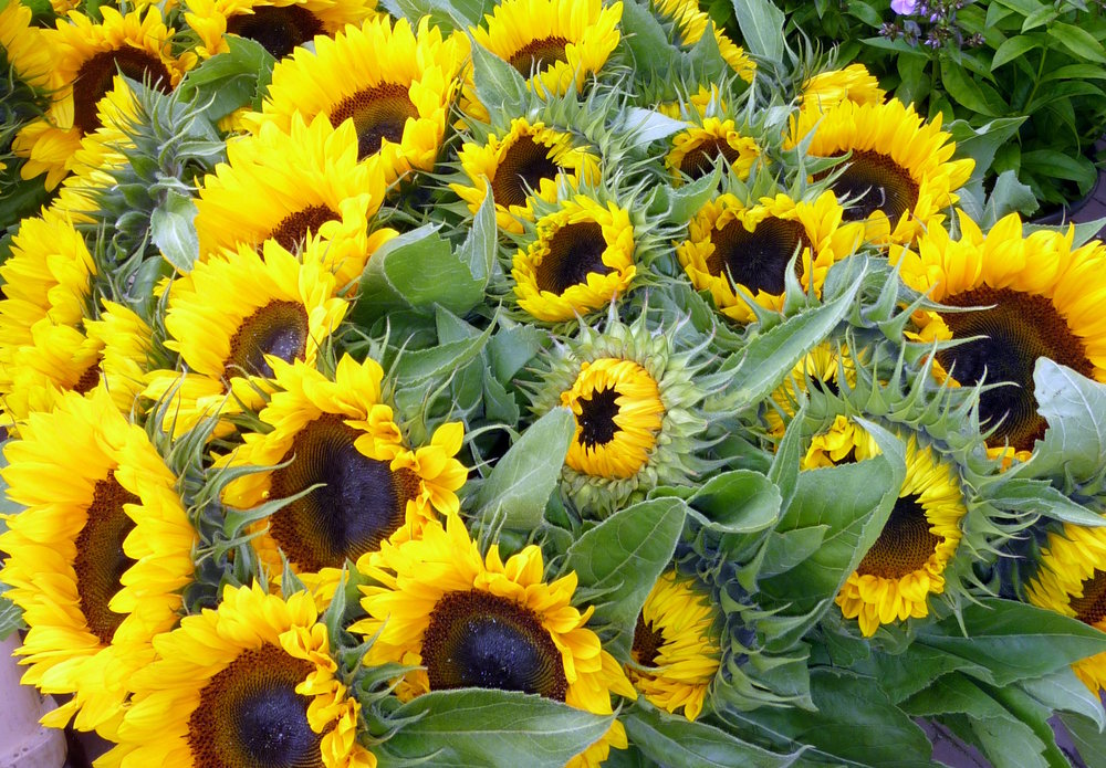 sunflowers-sanna-rosell