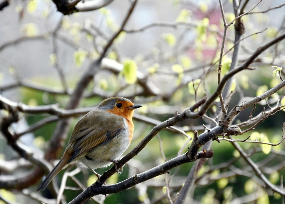 En vårfågel i parken