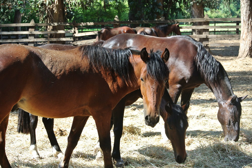 Busiga chilenska hästar - långt ifrån min sömninga Lillstrumpa...