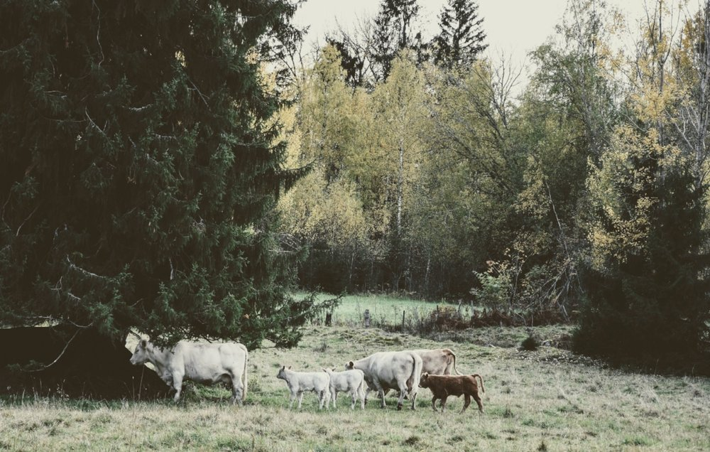 Med kossor som sällskap till skogsfikat.