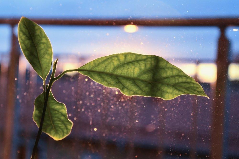 Min avokadoväxt som spejar mot solnedgången.