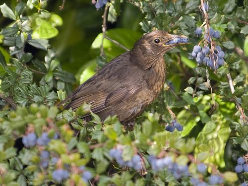 bird with blueberries.jpg