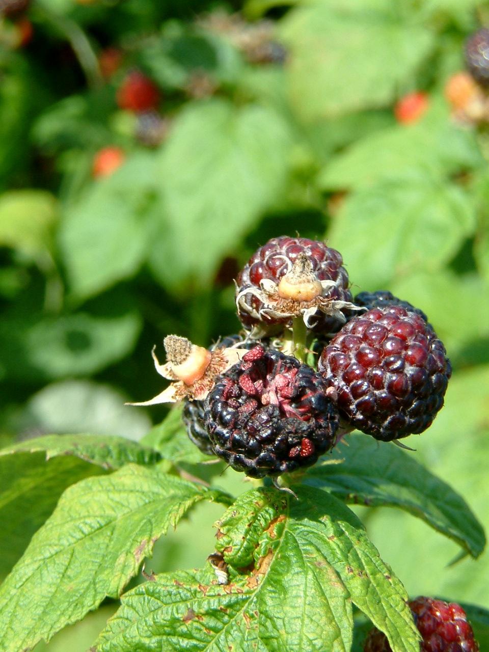 Bird damage in black raspberries.