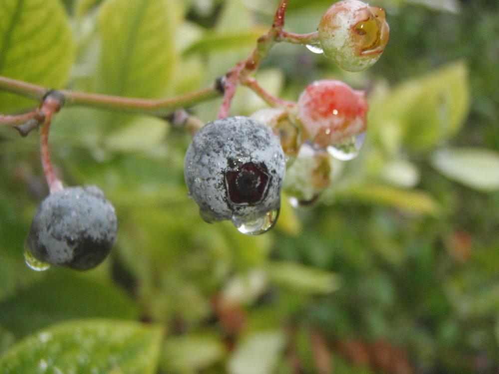 Wet blueberried 9-6-13 2.JPG