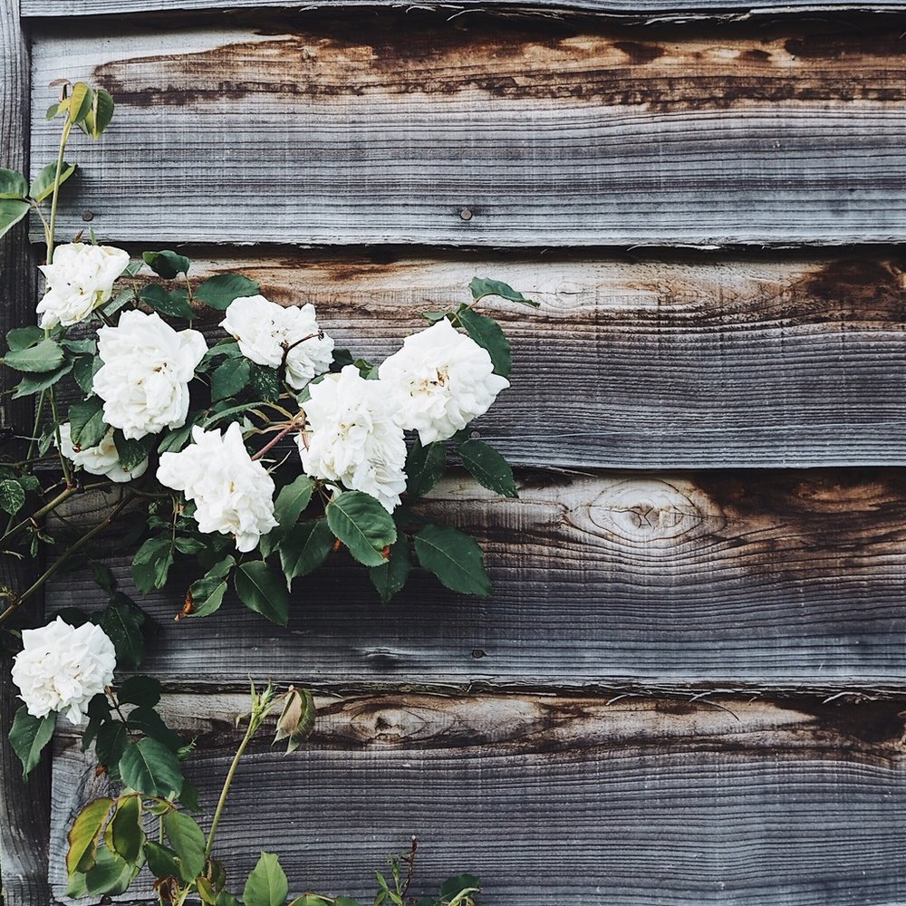 Roses climbing up a waethered timber wall.jpg