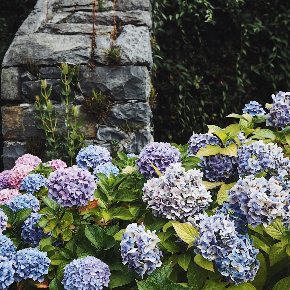 Hydrangeas against a grey stone wall.jpg