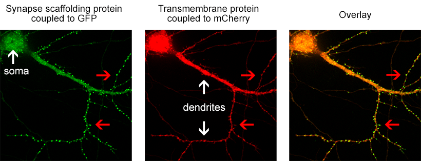 Figure 1. the donor and acceptor proteins co-localize in neurons.