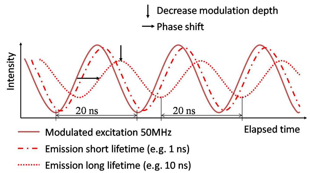 Figure 1. Modulated excitation will result in modulated emission with an identical repetition frequency. The phase shift and decrease in modulation depth are caused by the decay of the fluorescent molecule and can be used for deducing the lifetime information.