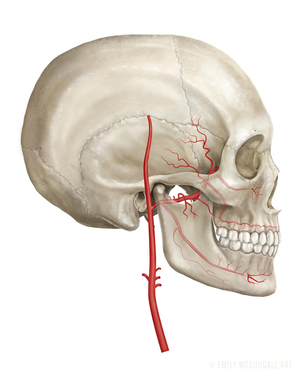 Arteries copy.jpg