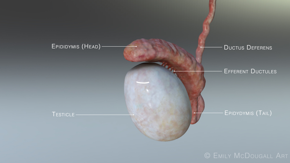 testicle labelscopy.jpg