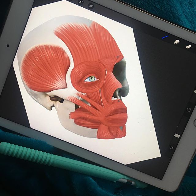 Working on facial muscles. I started this piece of in Photoshop but the lure of working on my iPad under a blanket always seems to win. 💀 ⠀⠀⠀⠀⠀⠀⠀⠀⠀⠀ ⠀⠀ ⠀⠀⠀⠀⠀⠀⠀⠀⠀⠀⠀ ⠀ ⠀⠀⠀⠀⠀ ⠀⠀⠀⠀⠀⠀ ⠀⠀⠀⠀⠀⠀⠀⠀⠀⠀⠀⠀⠀⠀⠀⠀⠀ ⠀⠀⠀⠀⠀⠀⠀⠀⠀⠀⠀ ⠀⠀⠀ ⠀⠀⠀⠀⠀⠀⠀⠀⠀⠀ ⠀⠀⠀ ⠀⠀ ⠀ ⠀⠀⠀⠀⠀ ⠀⠀⠀⠀⠀⠀ ⠀⠀⠀⠀⠀⠀⠀⠀⠀⠀⠀⠀⠀⠀⠀⠀⠀ ⠀⠀⠀⠀⠀⠀⠀⠀⠀⠀⠀ ⠀⠀⠀ ⠀⠀⠀ #sciart #medicalillustration #anatomy #anatomyart #anatomydrawing #adobephotoshop #digitalart #digitalpainting #muscles #anatomyandphysiology #scientificillustration #science #scientific #biomedical #artoftheday #skullart #workinprogress #wip #freelanceillustrator #freelanceartist #wacom #photoshoppainting