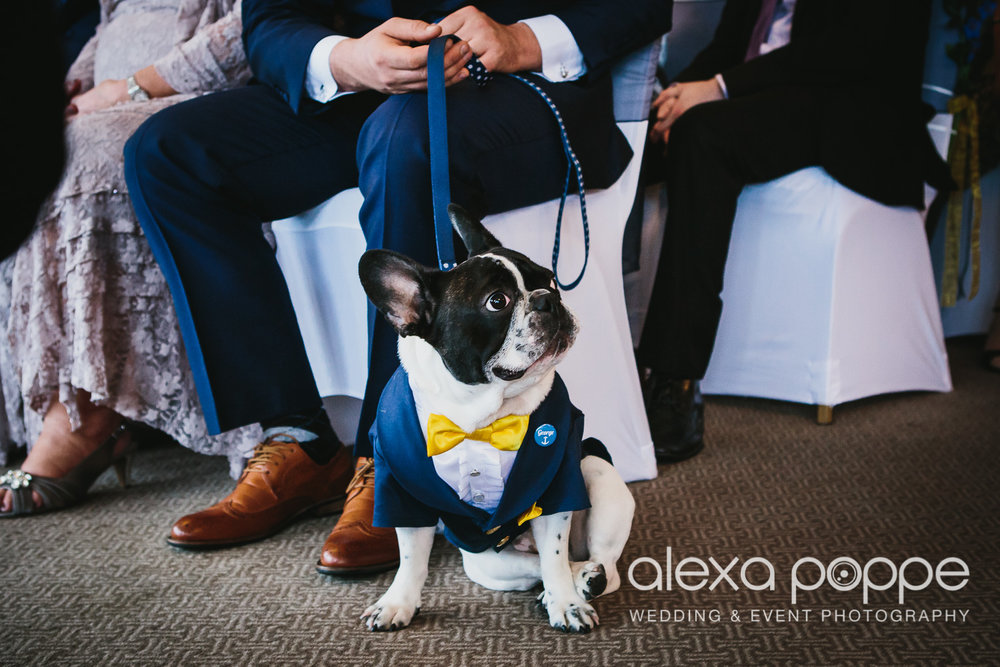 George the french bull terrier and faithful ring bearer during the ceremony at St Ives Harbour Hotel