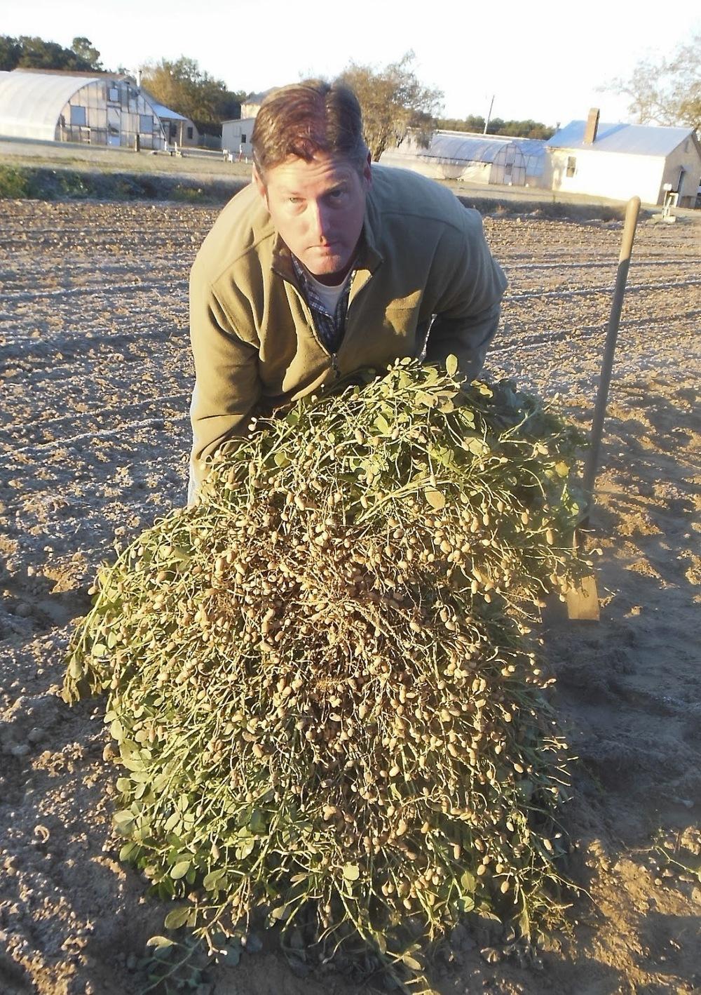 Dr. Brian Ward of Clemson University holding a Carolina African Runner Peanut plant