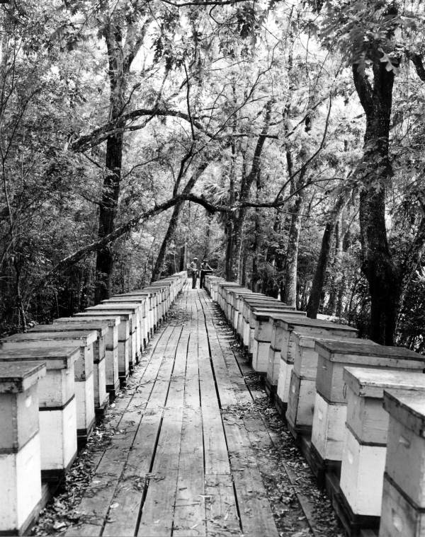 Honey beehives in Apalachicola, Florida, 1948, Courtesy of the Florida State Archives, Florida Memory Project