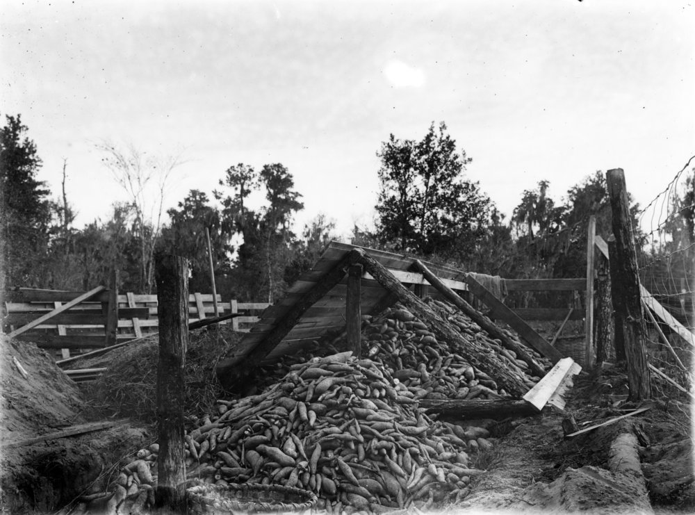 Sweet potatoes bank for storage, 1908, Courtesy of Library of Congres