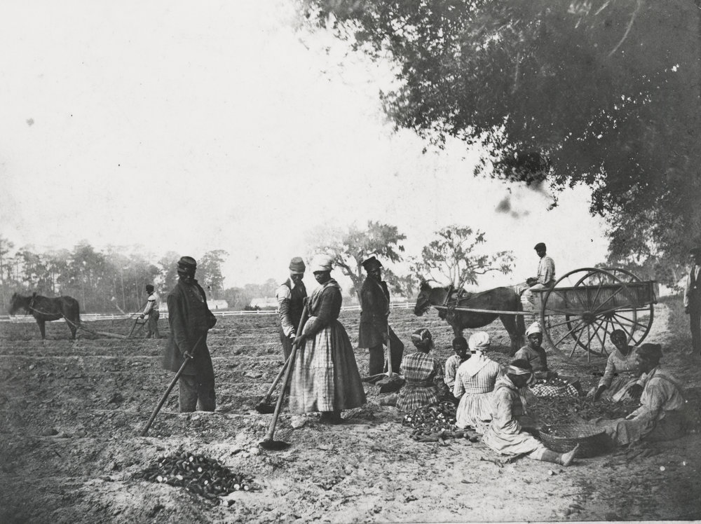 Sweet Potatoe Planting—James Hopkinson's Plantation, Courtesy of the Library of Congress