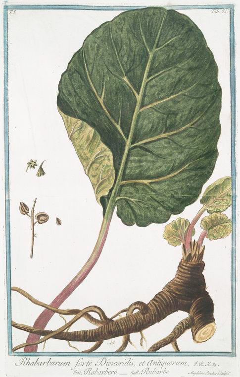 Rhabarbarum forte Dioscoridis, et Antiquorum = Rabarbero = Rubarbe = Rhubarb, circa 1771, Courtesy of the New York Public Library