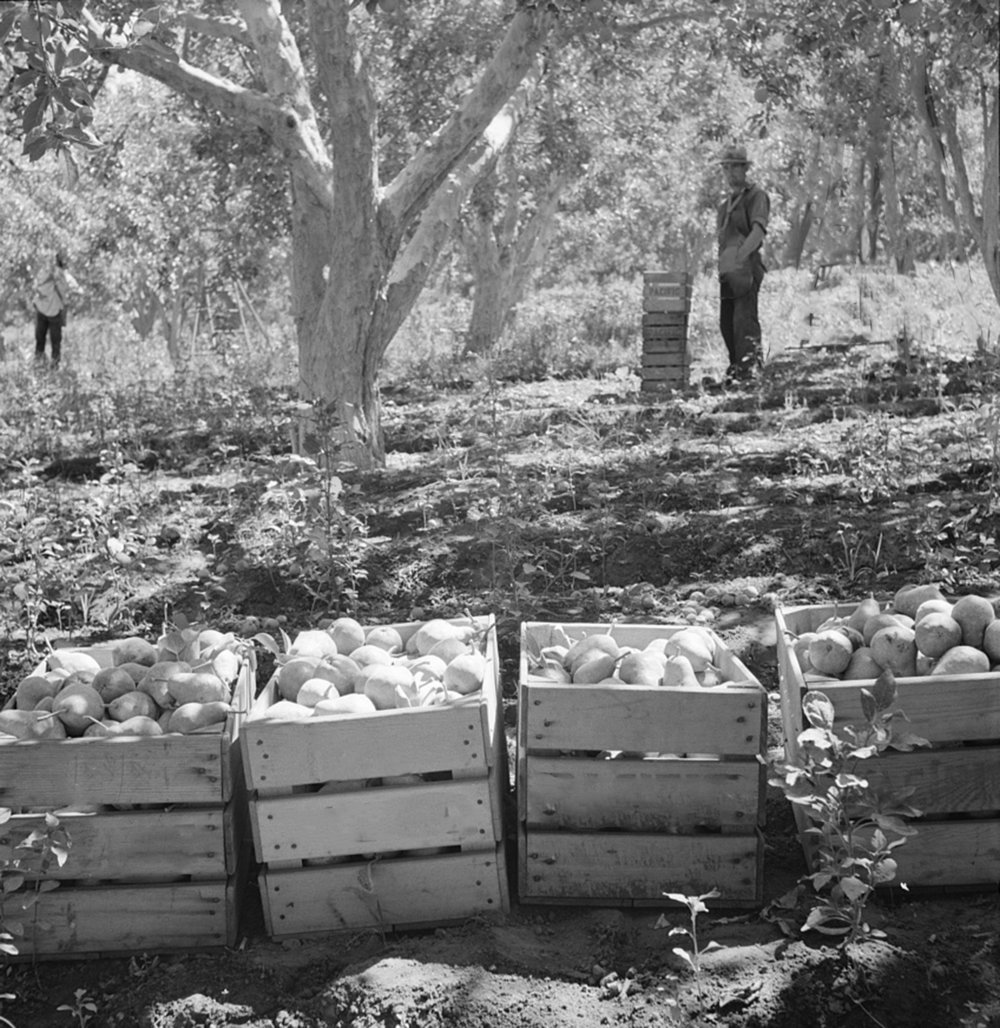 Pears and Pear Trees, 1939, Courtesy of the Library of Congress
