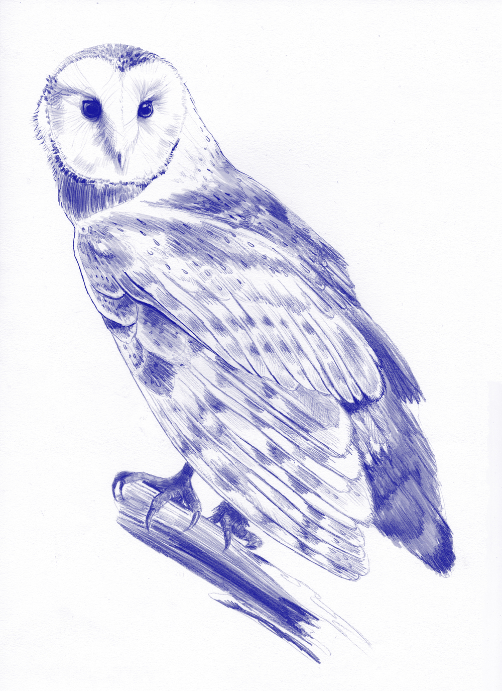 fig 3. Barn owl illustration