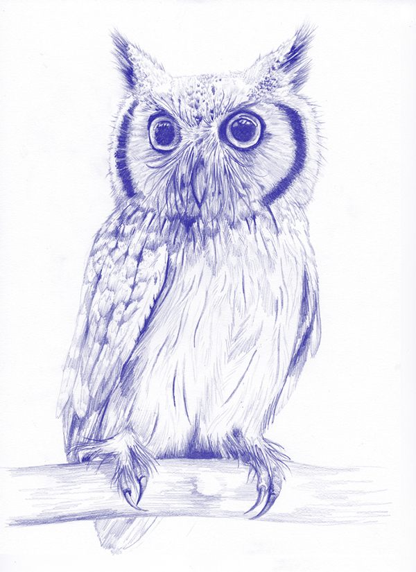 fig 4.  Northern whitefaced owl illustration
