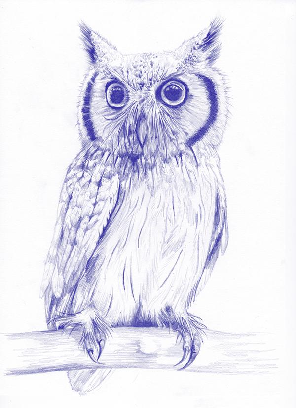 fig 4. Northern whitefaced owl illustration