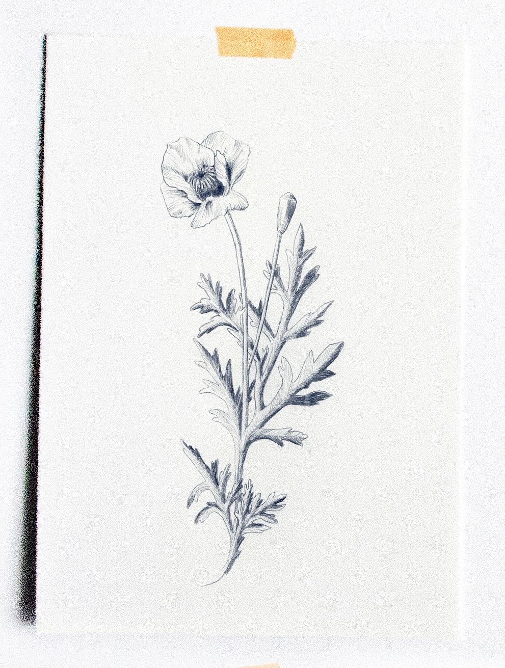 fig. 3. Poppy flower drawing