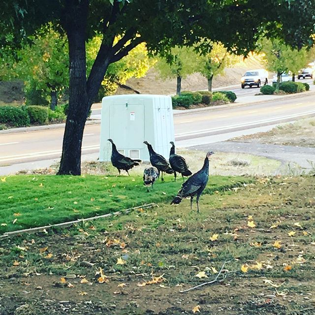Our morning visitors 🦃