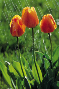 rain tulips.jpg