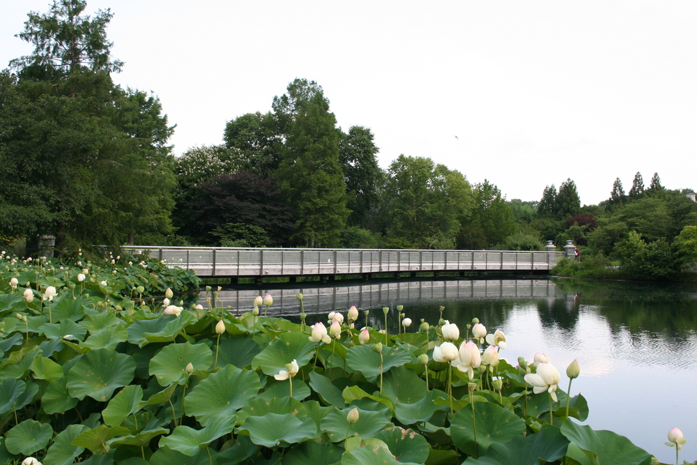 The Lotus Bridge at Lewis Ginter Botanical Garden.