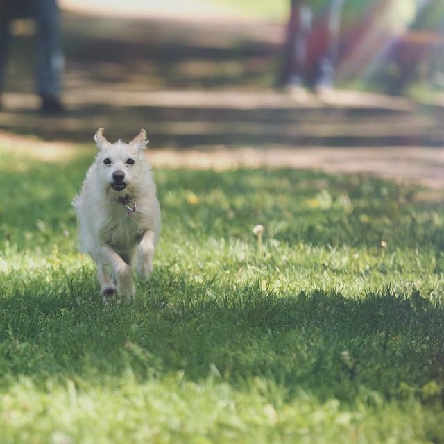 Les amis réunis au parc cet après-midi ! #dog #parc #montreal #lesamisreunis #cutedog