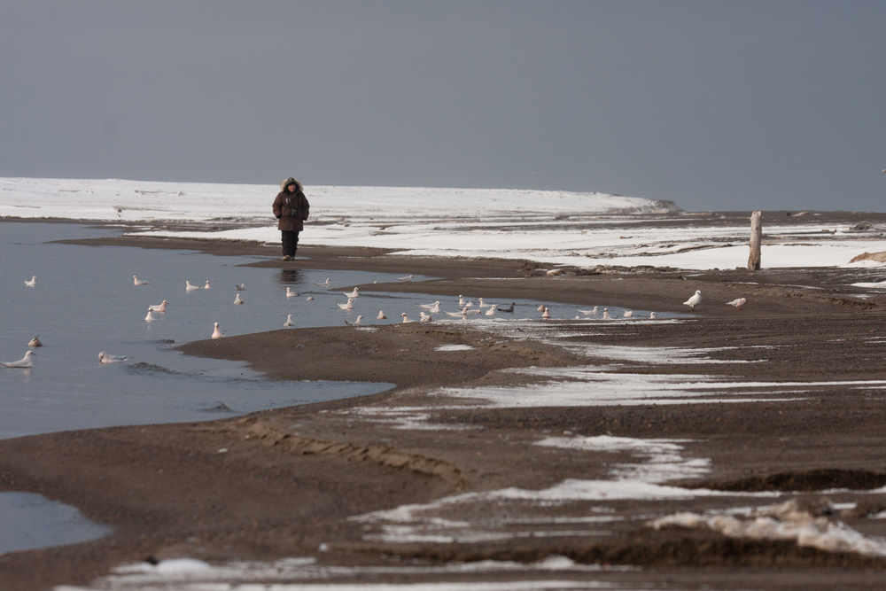 Shanti Davis enjoying an evening stroll amidst a flock of Ross's, Sabine's and ivory gulls on the shore of Elson Lagoon near Point Barrow