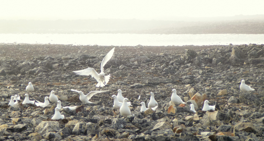 Ivory Gull Endangered Ivory Gulls at Seymour Island