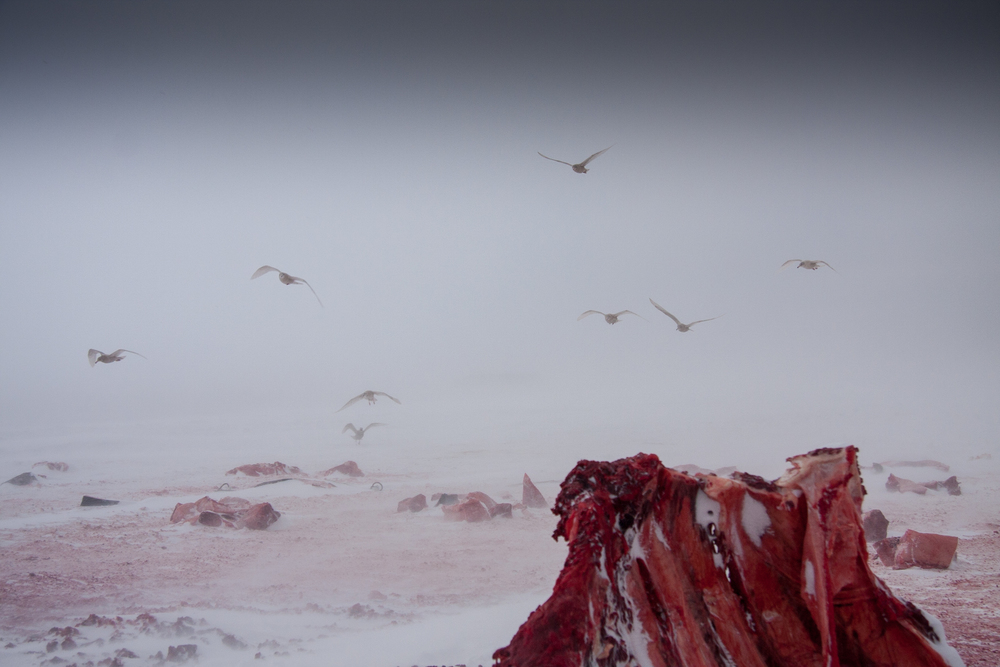 Glaucous Gulls gathering to feed on the remains of a bowhead whale - Barrow, AK