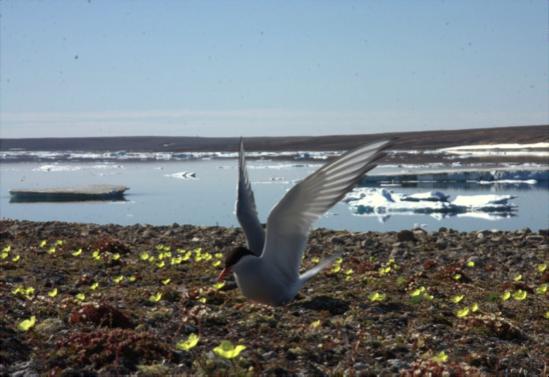 An Arctic tern on its nest at Nasaruvaalik Island, NU