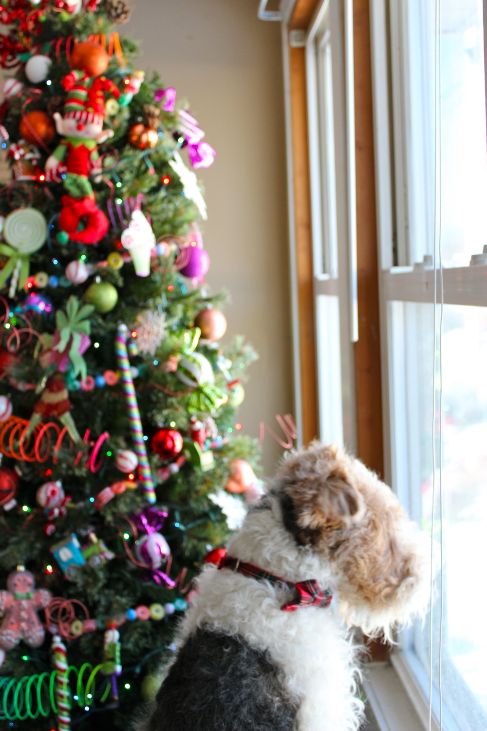 Meet my well-placed Christmas tree and my youngest fur baby, Dash.