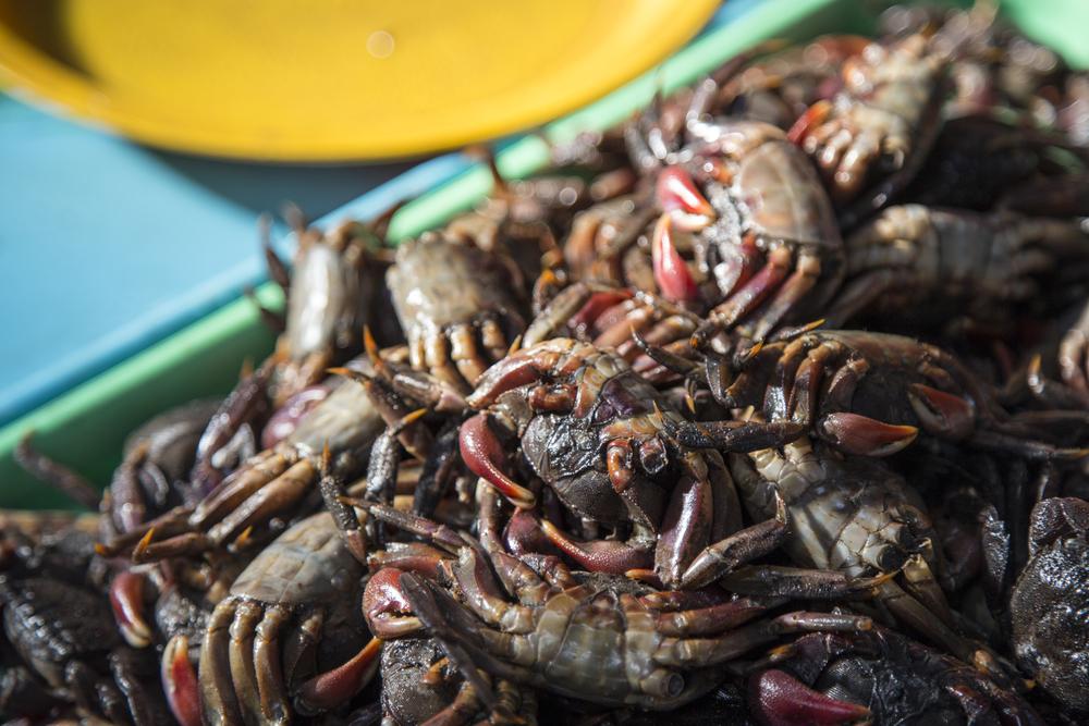 Red-Claw Crab  Perisesarma bidens
