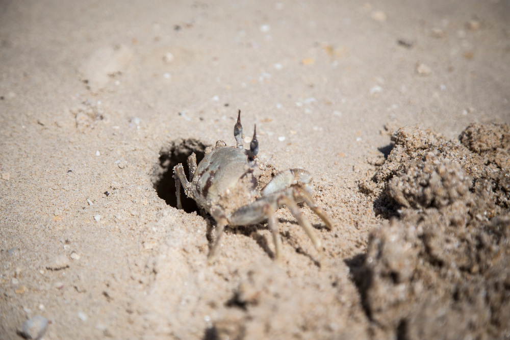 Horned Ghost Crab  Ocypode ceratophthalma
