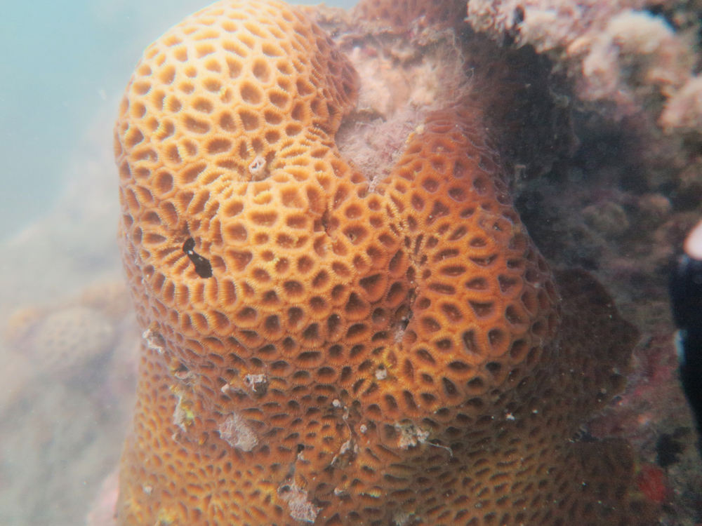Star Coral   Montastrea curta