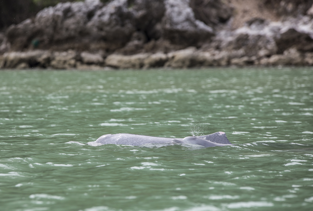 Indo-Pacific Humpback Dolphin  Sousa chinensis