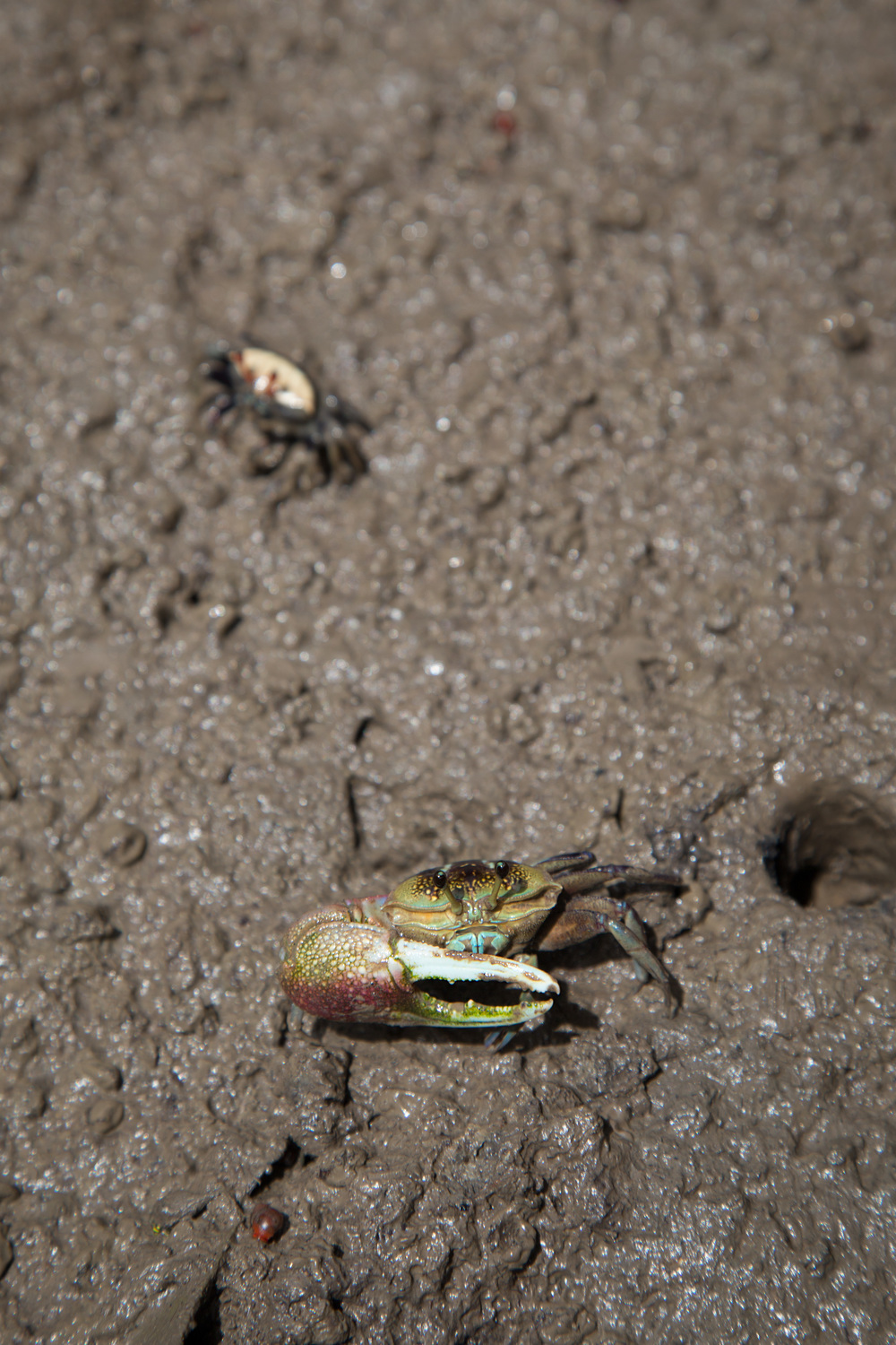 Forceps Fiddler Crab  Uca forcipata