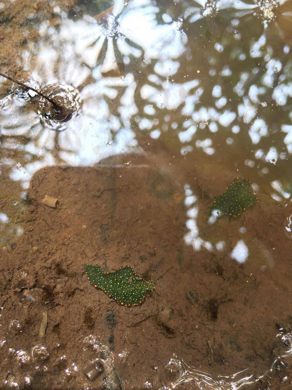 Mangrove Leaf Slug  Elysia bangtawaensis