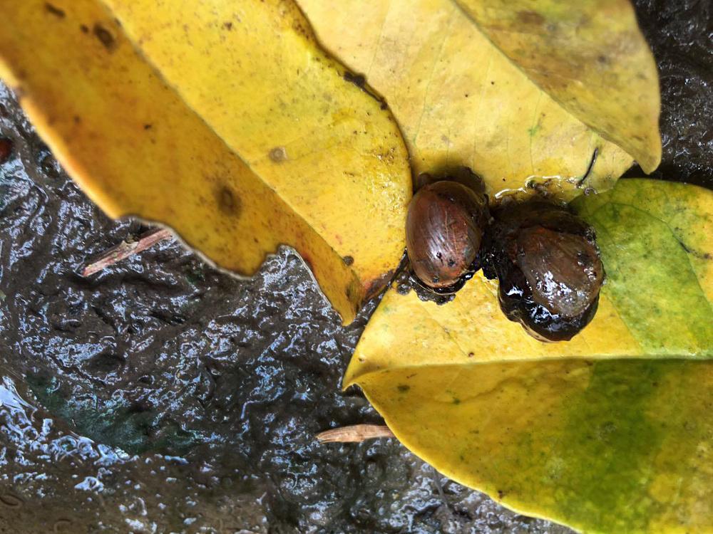 Bubble Snail  Haminoea sp.