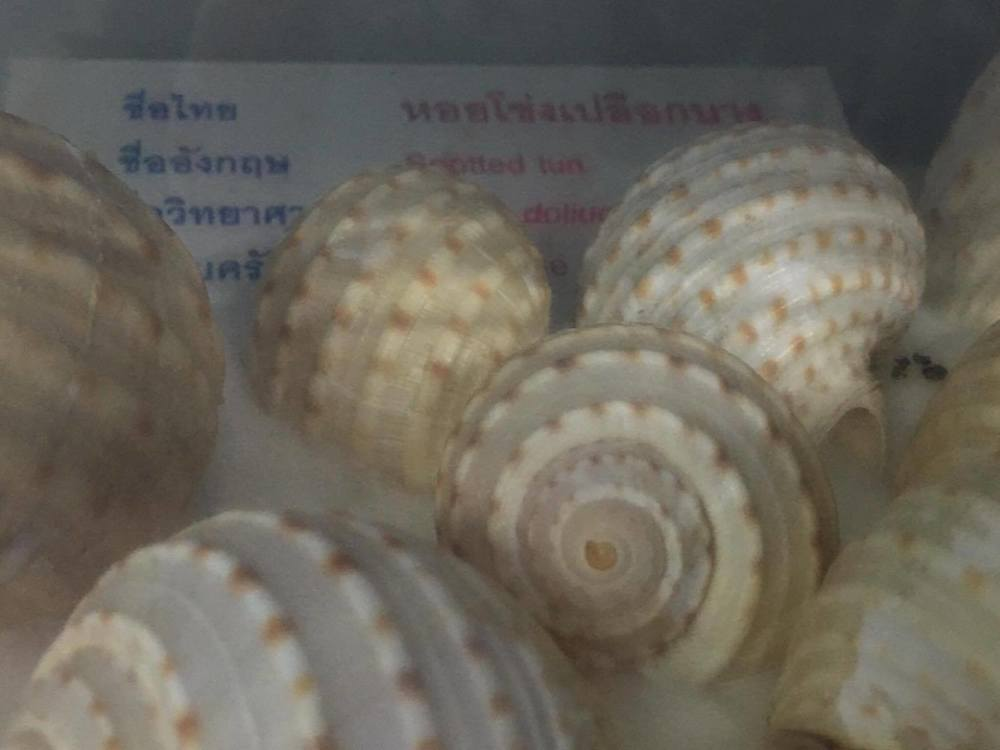 Spotted Tun  Tonna dolium