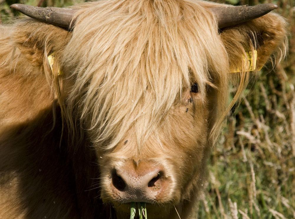Schotse hooglander (één van mijn eerste dierenfoto's)