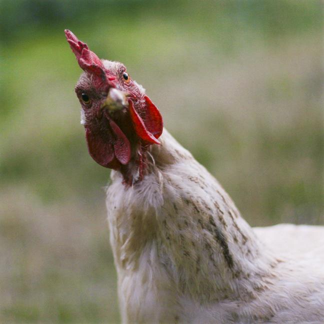 ChickenCamp.jpg